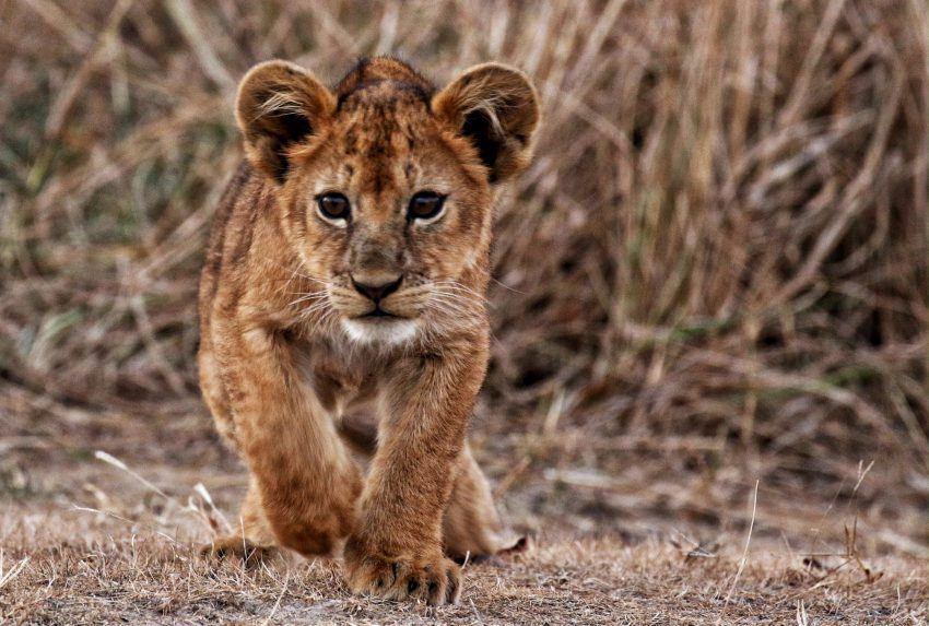 Friedkin-Conservation-Fund-Lion