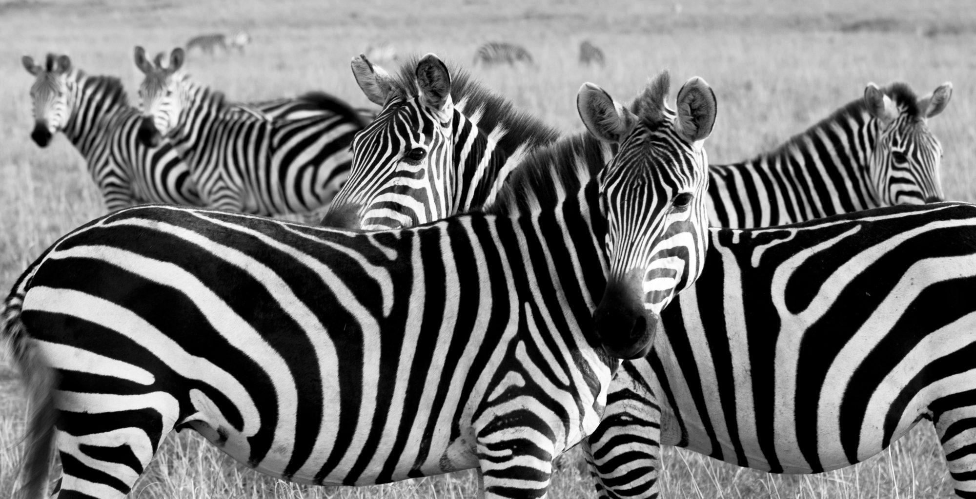 Zebra Maasai Mara Kenya