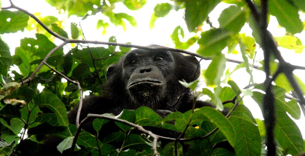 Greystoke Mahale chimp in tree - Nomad Tanzania