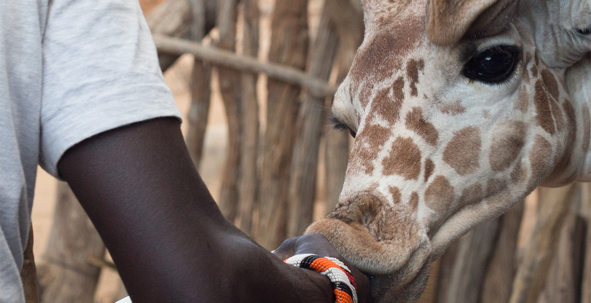 Reticulated giraffe feeding at Sarara animal sanctuary