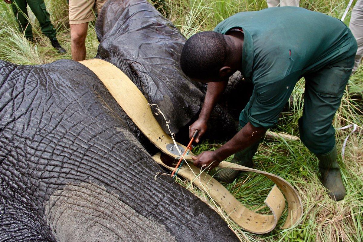 Singita Grumeti Elephant Collaring