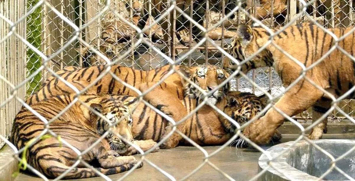 Tigers-in-Captivity-in-China_Belinda-Wright_Wildlife-Protection-Society-of-India