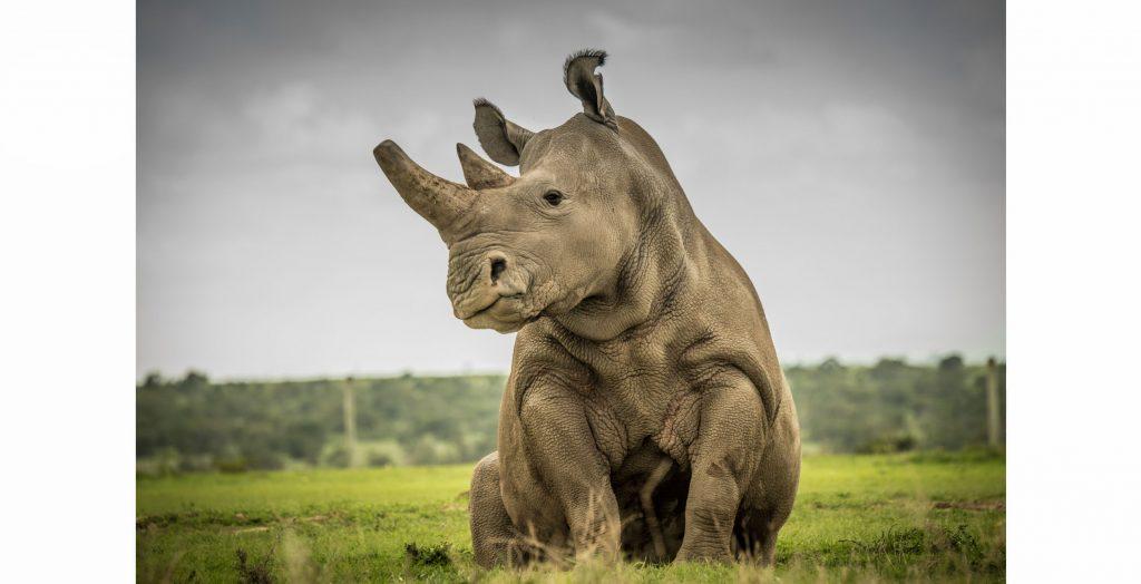 Rhino Sudan Ami Vitale
