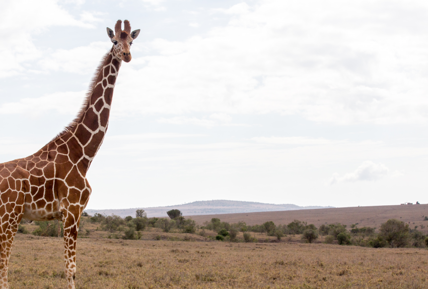 Borana-Conservancy-Wildlife-Giraffe