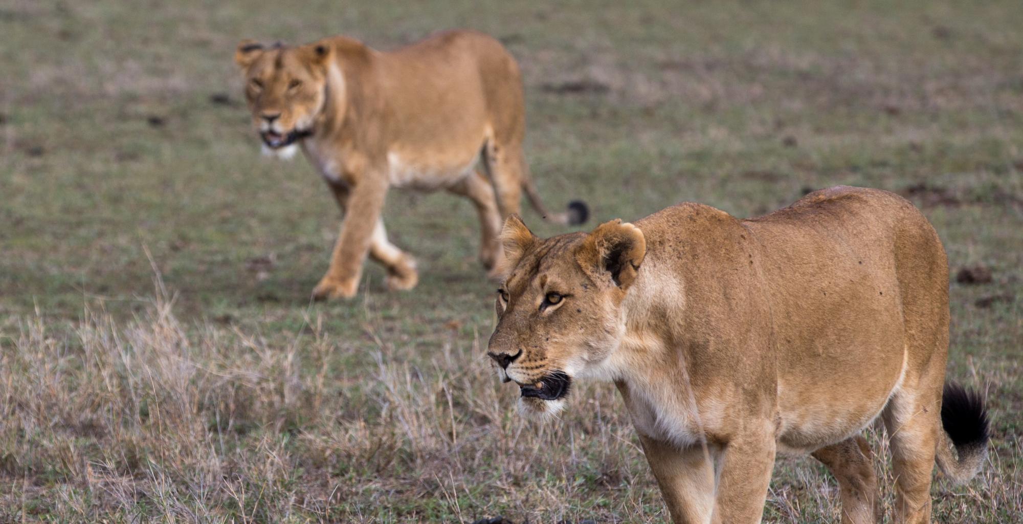 Borana-Conservancy-Wildlife-Lion-Simon-Morris