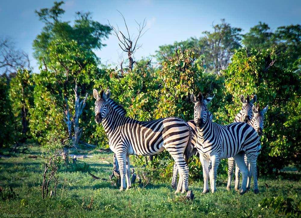 Ecoexist-Wildlife-Zebras