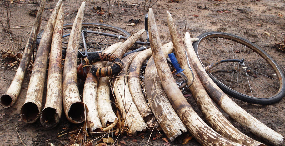 Friedkin-Conservation-Fund-Ivory-Pile