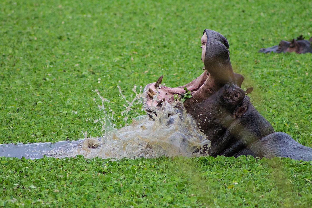 Enonkishu-Last-Line-of-Defence-Wildlife-Hippo