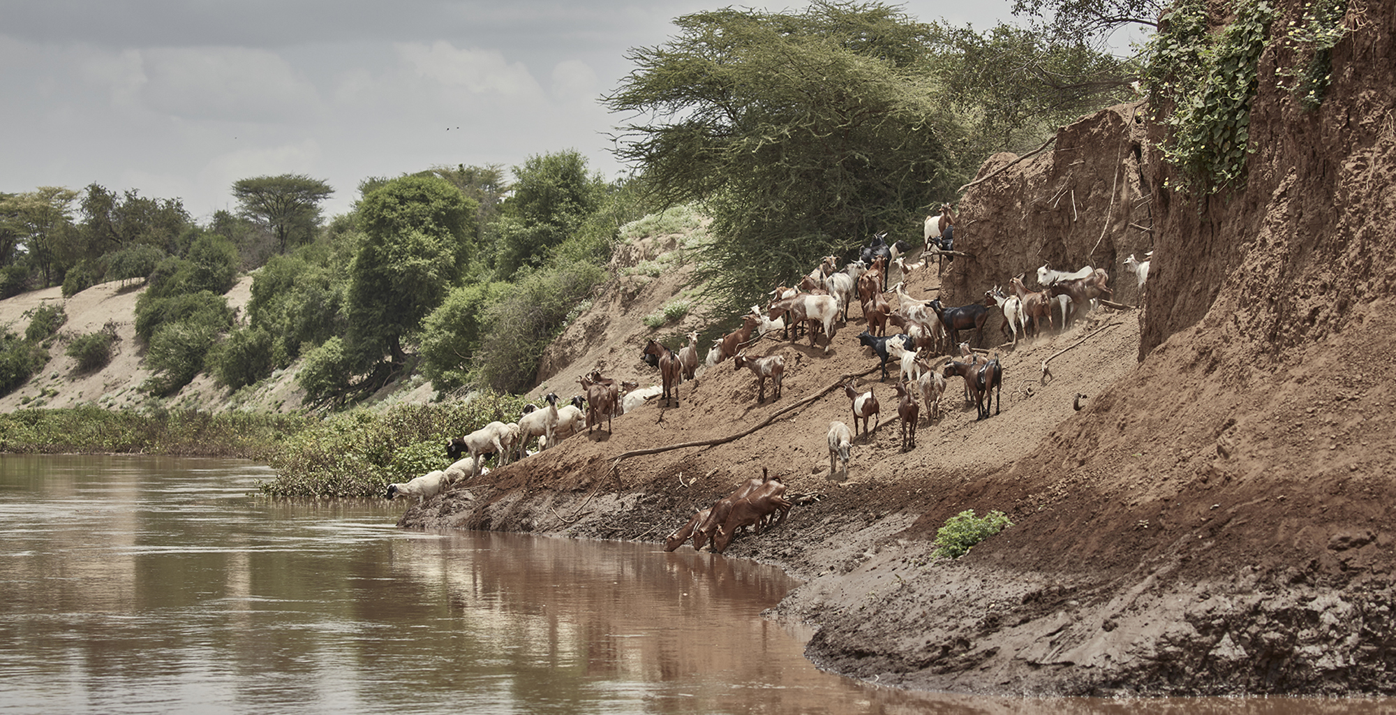 Ethiopia-Omo-Valley-Cattle-by-River