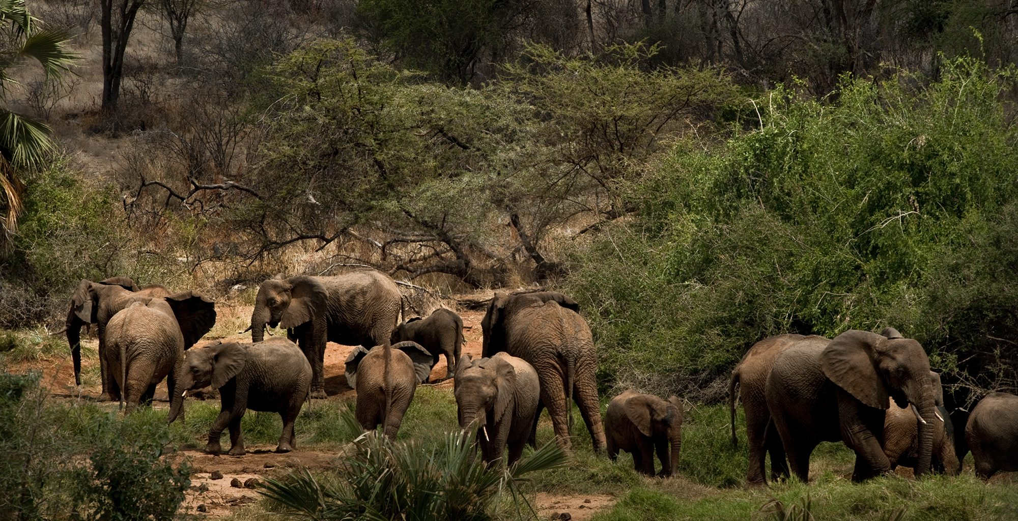 Northern-Rangelands-Trust-Elephant