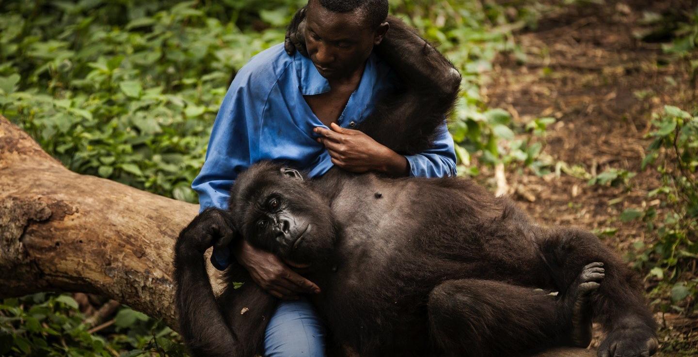 Virunga-Foundation-Gorilla-on-Person's-Lap